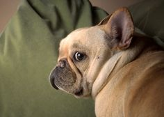 That Frenchie look...