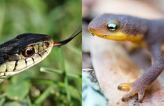 How a Deadly Camping Trip Revealed an Arms Race Between Snakes and Newts