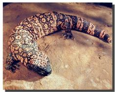 Simply superb! This poster captures the image of Gila monster lizard sure to spruce up any room in the home. The Gila monster is one of only two species of venomous lizards. It can bite quickly and hold on tenaciously. This poster delivers a sharp vivid image with a high degree of color accuracy which ensures long lasting beauty of the product. Order today and enjoy your surroundings.