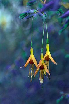 Fuchsia by Mah Nava