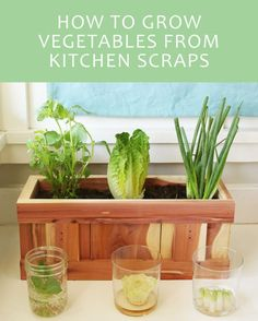 Indoor Vegetable Gardening Here's How To Turn Your Vegetable Scraps Into Vegetables Again (how to grow vegetales) - Lettuce butts never looked so good. Indoor Vegetable Gardening, Organic Gardening, Garden Plants, Indoor Plants, Gardening Tips, Veggie Gardens, Flower Gardening, Herb Garden Indoor, Vegetable Planters
