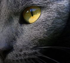 ; Grey Cats, Blue Cats, Chartreux Cat, Cat Profile, Russian Blue, Cat Boarding, Cat Photography, British Shorthair, Blue Aesthetic