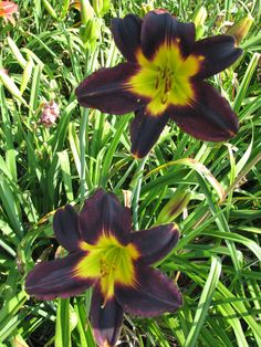 This seedling is about as black as you can get but the green throat shines on. The cross is Africa x Laura Harwood
