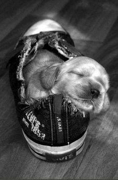 cute puppy sleep cocker spaniel