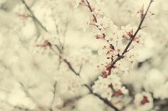 Cherry Blossoms from Heaven