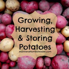 How to grow, harvest and store potatoes. Why you need to know about potato blight and growing organic potatoes. | Montana Homesteader