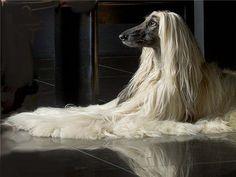 afghan hound, pure beauty