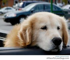 Golden Retriever waiting patiently for mom to come out of store