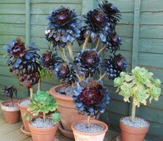 The Aeonium is a succulent, subtropical garden plant of the genus Aeonium and family Crassulaceae, native to the Canary Islands and the Mediterranean region of North Africa... http://www.coolgarden.me/the-aeoniums-beautiful-winter-succulents-331/
