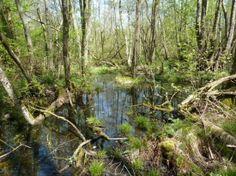 CONCHES EN OUCHE / BRETEUIL - Bois de Breteuil © F. Drouard #bois #Conches #CEO #Normandie #Paris #Foret #marecage #marais #eau #nature. Dans le parc urbain de Breteuil, le long de l'Iton, se trouve un autre habitat d'intérêt communautaire, la forêt alluviale. C'est une forêt d'aulnes et de frênes où l'on trouve la rarissime fougère des marais et la grande douve mais aussi du cassis à l'état naturel. Cette forêt, de belle taille et très marécageuse, est un exemple rare en Normandie.