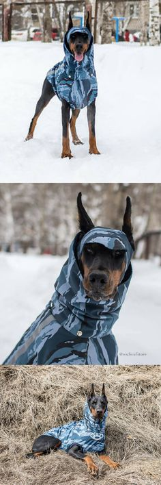 Just in time for the snow! Cold weather jacket, custom-fit for the Doberman. #ad #doberman #dogjacket #dogsweaters #Dobies #dobermanpinscher #Largedog