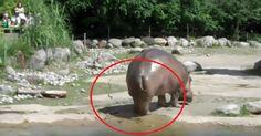 Beeindruckend: Über dieses furzende Nilpferd wirst du dich schlapplachen