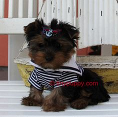 teacup yorkie puppy Jaxon