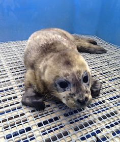 Vancouver Aquarium Marine Mammal Rescue Centre Admits First Seal Pup of 2015, Named for the World's Best Soccer Player Lionel Messi