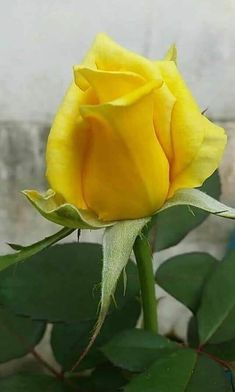 Yellow Rose Beautiful Rose Flowers, Beautiful Flowers, Yellow Flowers, Spring Flowers, Rose Reference, Pink Flower Photos, Colorful Roses, All Plants, Rose Buds