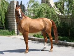 """Karabakh horse.  This coat color (light  chestnut with darker and more reddish mane and tail) is called """"Narindge"""" that means Orange . It is absolutely unique color which may be found only in Karabakh and Don breeds."""