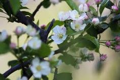 Image result for malus sieboldii