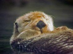 Sea otter naps