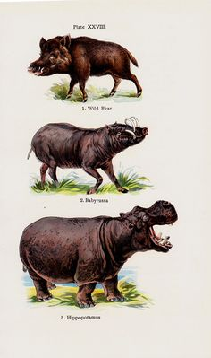 1909 Antique print of Wild boar, razorbill, babyrussa, hippopotamus, lithograph + 100 years older
