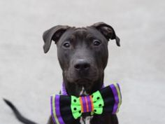 TO BE DESTROYED 11/13/2016 A volunteer writes: When Rich's owner left he began to cry. He is just a baby after all. At first he was excited to find himself in a new place, new smells, and he was hyper-jumping up and down and running in circles. How fun! But I can imagine that when the only family he has known left him, it was quite scary. He lived with children ages 3-9 and was gentle around the little ones. He was in the process of being housetrained and showed me that he knows how to do…