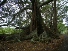 Google Image Result for http://www.thegreenedition.com/images/buttress-roots-moreton-bay-fig-trees1.JPG