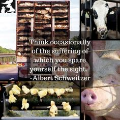 Think occasionally of the suffering of which you spare yourself the sight ~ courtesy Albert Schweitzer reason to be Proverbs 12 10, All Animals Are Equal, Animal Slaughter, Reasons To Be Vegan, News Memes, Why Vegan, Stop Animal Cruelty, Vegan Animals, Peace On Earth