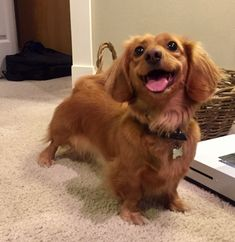 This is Eleanor, she is a long-haired dachshund, and she is a bundle of energy and joy. We are so beyond lucky to have her.