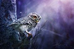 spotted owlet  Sasi - smit