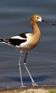 American Avocet (Recurvirostra americana) a large wader on the pacific coasts of North America, found in shallow lakes and ponds.
