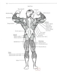 Posterior Anatomy of major muscles.