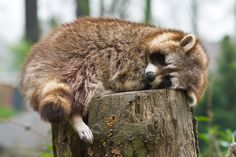 Racoon by coloridas-aves.deviantart.com