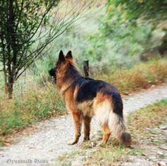 Long Coat German Shepherd by Grunwald Haus #germanshepherd