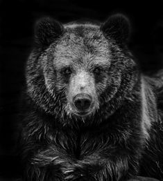 Buy Brown Bear, Photograph by Ricky Robinson on Artfinder. Bear Photos, Bear Pictures, Bruder Tattoo, Grizzly Bear Tattoos, Wild Animals Photography, Bear Paintings, Bear Drawing, Bear Illustration, Tier Fotos