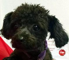 Meet 34 Holly, a Petfinder adoptable Poodle Dog | Canton, OH | Release date 8/10,  $ 86.00 fee includes OH license, DA2PP, Bordetella vaccine, Hw testing, Worming...