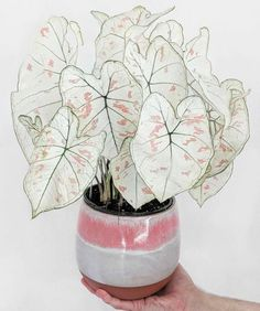 Caladium Strawberry Star Plant - perfect way to fem up your plant game! Caladium Strawberry Star Plant - perfect way to Planting Bulbs, Planting Flowers, Calathea Triostar, Calathea Lancifolia, Plantas Indoor, Decoration Plante, Plant Wallpaper, Plant Aesthetic, Pink Plant