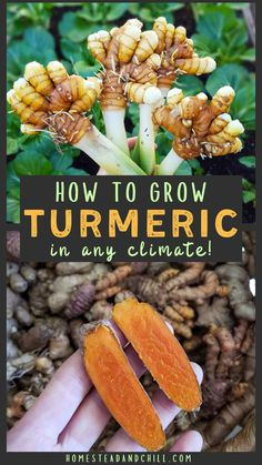 Read along to learn how to grow turmeric in any climate! We'll cover where to source turmeric seed ideal turmeric growing conditions adaptations for cooler climates planting and care instructions and tips for harvest storage preserving and more! Grow Turmeric, Turmeric Plant, Ginger Plant, Growing Herbs, Growing Vegetables, Growing Tomatoes, Perennial Vegetables, Growing Fruit Trees, Household Tips