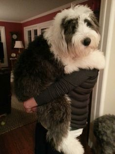 Old English Sheepdog Belle likes to be carried