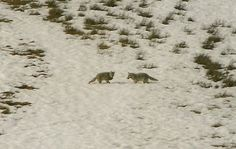 Mated pair of coyotes in Yellowstone. Photo by Paul Menard. Photo from 'Eastern Coyote Ecology' page at Withywindle Nature & Books