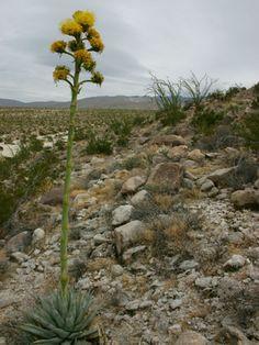 Agave-deserti-Desert-Agave3.jpg 600×800 pixeles