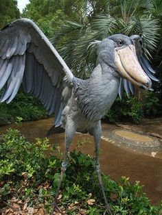 The shoebill is a tall bird, height reaching as much 5 feet tall. Weight has reportedly reached 15 lb. The 9 foot wingspan is well-adapted to soaring.