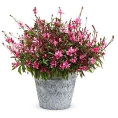 Proven Winners Karalee Petite Pink Butterfly Flower (Gaura) Live Plant, Pink Flowers, 4.25 in. Grande GAUPRW1017520 at The Home Depot - Mobile