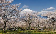 Pacotes de viagem para ver as flores de cerejeira no Japão