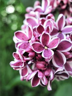 Lilacs - love this variety!