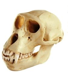 Skull of a Rhesus-Ape  Macaca mulatta, male, natural cast, made in SOMSO-Plast®. Lower jaw movable and can be removed.  http://www.gtsimulators.com/SOMSO-Skull-of-a-Rhesus-Ape-male-p/zos53-4.htm  #AnimalSkullModels #Zoology