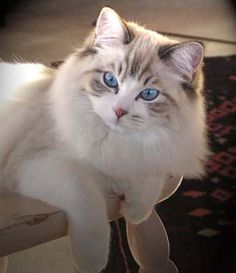 A pretty Sealpoint Bicolor Lynx Ragdoll cat.