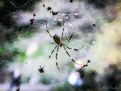 Nephila clavata - Nephila clavata, also known as the Jorō spider (ジョロウグモ(女郎蜘蛛、上臈蜘蛛) Jorō-gumo?), is a member of the golden orb-web spider group. The spider can be found throughout Japan except Hokkaidō, in Korea, Taiwan and China. Due to the large size as well as the bright, unique colors of the species of the female Nephila, the spider is well-favored in Japan.  Recently scientists have confirmed the first known occurrence of N. clavata in North America.  Nephila clavata pass winter as…