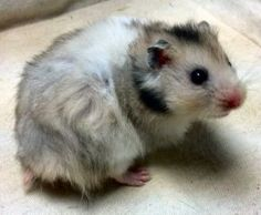 Young Syrian Hamster Dark Grey Banded Long Haired>_Pasta
