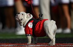 Jan 1, 2018; Pasadena, CA, USA; Georgia Bulldogs live mascot Uga on the field before the 2018 Rose Bowl college football playoff semifinal game against the Oklahoma Sooners at Rose Bowl Stadium. Mandatory Credit: Robert Hanashiro-USA TODAY Sports