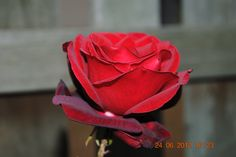 Red Roses Red Roses, My Love, Flowers, Royal Icing Flowers, Flower, Florals, Floral, Blossoms