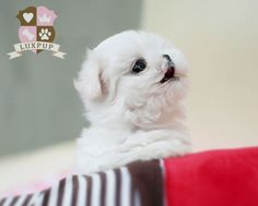 Maltese - Love Cute Puppies And Kittens, Tiny Puppies, Teacup Chihuahua, Teacup Puppies, Baby Animals, Adorable Animals, Dog List, Maltese Dogs, White Dogs